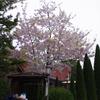 どんどんなくなっていく桜の木