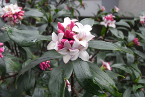 【雑学】自然観察指導員の徒然草=香りのよい木 臭気のある木~前編