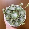 うちの多肉植物たち(センペルビウム)