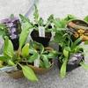 春が楽しみになる冬に地植えする苗、お勧めの6種類