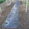 大根畝の除草