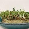 【実験】豆苗3日目。芽が伸びてきました!