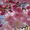 桜クエスト5(隅田公園[台東区側])