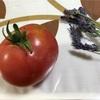 市民菜園で野菜づくりに挑戦!13 〜トマト収穫