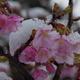 2017年今年を振り返る(3月)【雪見桜】