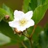 カジイチゴの白い花