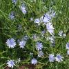 プンタレッラの花