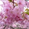 【伊豆の旅】河津桜・稲取つるし雛を見にスーパービュー踊り子号で行ってきました