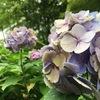 雨と梅雨と紫陽花