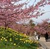 河津桜のお花見