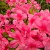 鮮やか過ぎるピンク色。