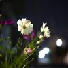 1日1花【9日目】コスモスと紅葉