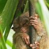 フィリピン ボホール⑥  〜陸観光Ⅱ 寝顔もとっても可愛い世界最小メガネザルのターシャ〜