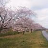 桜は・・・・何事もなく咲いている🌸