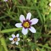 ニワゼキショウ(庭石菖)の花
