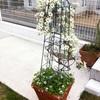 来年の春♡ユーカリの木の根元で真っ白なクレマチスはたくさん花を咲かせてくれるでしょうか・・・