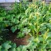 トウモロコシとカボチャが収穫間近