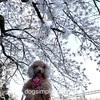 コロナ、ワンチームで乗り越えよう!🌸桜髪飾り。