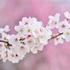 【禅語】 散る桜 残る桜も 散る桜 ~良寛禅師 辞世の句~