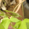 アサガオは継続して咲かず、しかしながら蕾はがんばる