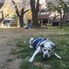 【老犬シニア犬介護】歩行補助、介護ハーネスの使い勝手