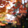 紅葉と豪徳寺