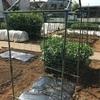 夏野菜苗の定植!