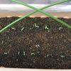 シュンギク(春菊)発芽!・・・発芽のポイントは種蒔き時の土の厚さ・・・。