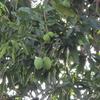 マンゴーの木と赤い蟻
