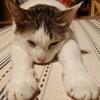我が家の猫、ホットカーペットの魔力に堕ちる