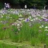 小石川後楽園で花菖蒲を愛でる