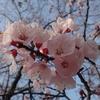 桜のチャペルとライブ