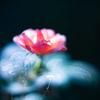 初秋の小さなバラ