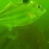 6月末の三河湾。海の底を動画撮影したら、予想外の魚が群れていた!