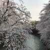 桜が満開ですね!!!!