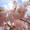 兵庫県)夙川沿い「西宮さくら祭」。西宮水道局「さくらの通り抜け」。