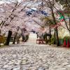 🌸それでも桜は咲く・桜を見る会・伊賀上野城