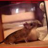 かわいい野ネズミ