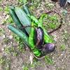 週末家庭菜園。ピーマンとナスの収穫が調子良いーーー。