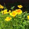 夏至の日 芝刈り カリフォルニアポピー
