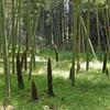 タケノコ林