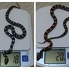 体重測定(ヘビ)