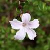 ハクチョウゲ(白丁花)