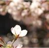 芦屋川の桜 穴場のお花見スポット