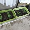 外出自粛なので、子供達とベランダ菜園作り!野菜の収穫もでき、情操教育にもなります!