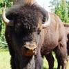 【英語】Buffalo buffalo Buffalo buffalo buffalo buffalo Buffalo buffalo. ←これの意味わかりますか?