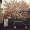 桜散りそう
