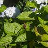 紫陽花リザードマン