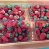 回帰水イチゴ農園さんが助けて!と悲鳴。赤い完熟イチゴが特別にお得パック450円です。