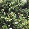液肥希釈セットでバラの有機栽培のすすめ すごい効果があります。